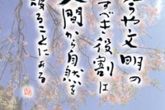 千光寺 ポストカード 枝垂桜